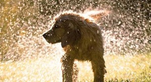 Dog-shaking-off-water-002-460x250