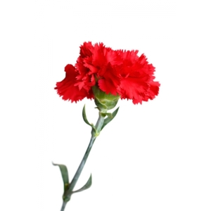 Beautiful-Red-Carnation-colors-34691871-600-600