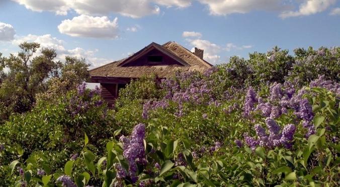 in lilacs